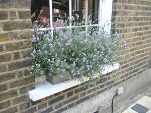 Growing in Window Box
