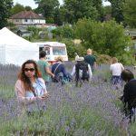 Lavender Harvest 2017